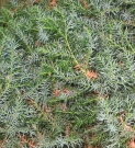 JUNIPERUS CHINENSIS BLUE (IENUPAR VAR. CHINENSIS BLUE)
