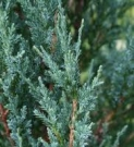 JUNIPERUS SCOPULORUM BLUE (IENUPAR VAR. SCOPULORUM BLUE)
