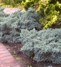 JUNIPERUS SQUAMATA BLUE STAR (JUNIPERUS SQUAMATA BLUE STAR)