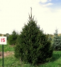 PICEA ABIES (MOLID)