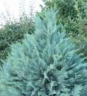 CHAMAECYPARIS LAWSONIANA ALUMNI (CHIPAROS VAR. ALUMNI)